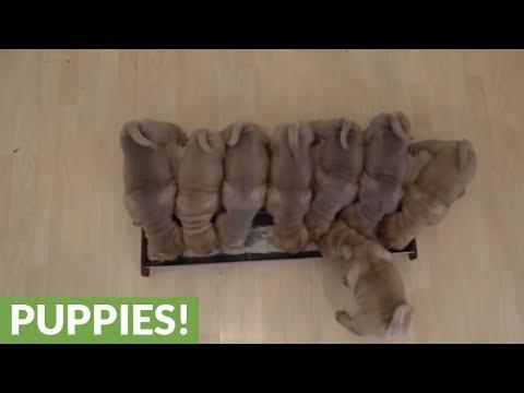 Shar Pei puppies devour their breakfast
