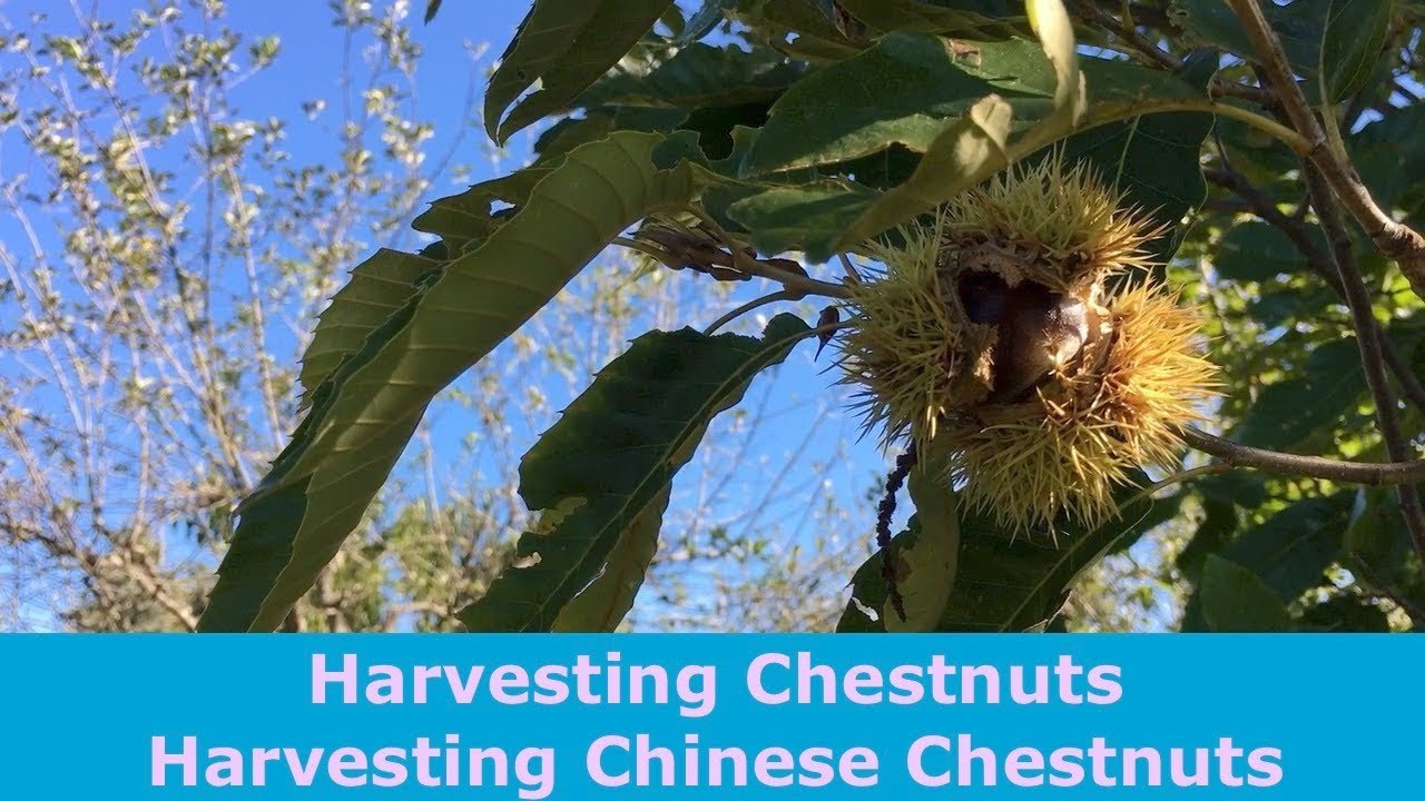 Download Harvesting Chestnuts Harvesting Chinese Chestnuts