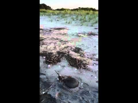 Horseshoe Crab Spawning At Big Stone Beach In Delaware YT