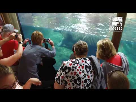 Thumbnail: Baby Hippo Fiona - What's the Crowd like if She's Out - Cincinnati Zoo