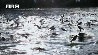 Thousands of fish leap out of water at same time!