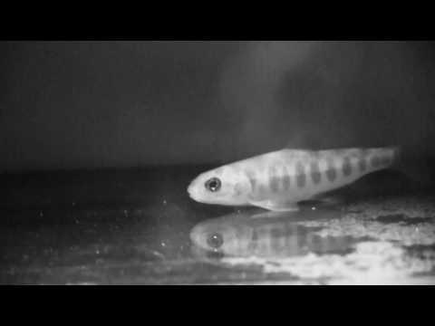 Atlantic salmon - Ventilation rate at 7C