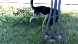 Гризня бродячих собак в центрі міста Сарни