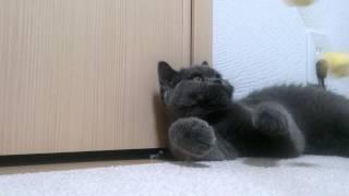 オモチャに喜ぶ猫 cat