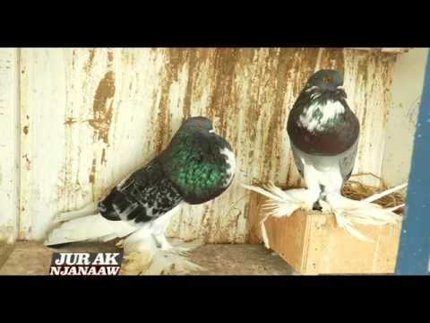 Jur Ak Njanaaw N°3 - Pigeons Mondains