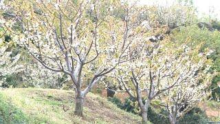 La cancelación de las fiestas del cerezo en flor daña a hosteleros