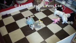 Little Rascals Uk Breeders New Litter Of Cavachon's