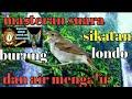 Masteran Burung Sikatan Londo Dan Gemercik Air Cocok Buat Masteran Murai Batu Cucak Ijo Dan Kacer  Mp3 - Mp4 Download