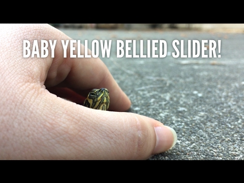All About Yellow-Bellied Sliders!
