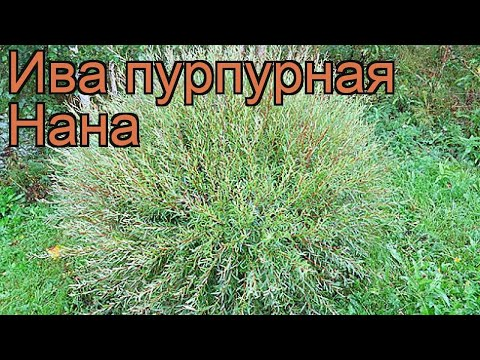 Ива пурпурный Нана (salix purpurea nana) �� пурпурный ива Нана обзор: как сажать, саженцы ивы Нана