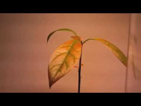 From Seed To Plant Growing Avocado Time Lapse