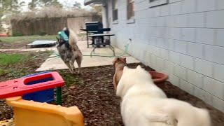 Funny Dogs Play Hide & Seek | Tonka The Malamute Capone The Bully & Monroe The Husky