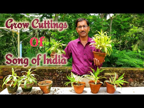 Cuttings / Propagation of  Song of India plant  ( Dracaena reflexa ) in the Easiest method.