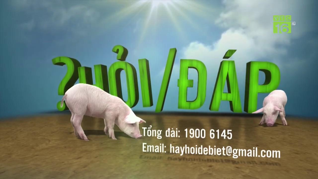 Phòng trị lợn bị bệnh dịch tả heo cổ điển ghép với tai xanh |  Hỏi đáp trong ngày 19/12/2019 | VTC16