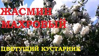 Жасмин махровый в нашем саду! Цветущий декоративный кустарник!(Жасмин цветет, растет и радует! Все о цветах , рассаде, урожае и способах выращивания орхидей.Здесь я делюсь..., 2016-06-22T18:24:58.000Z)