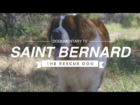 SAINT BERNARDS: RESCUING THE RESCUE DOG