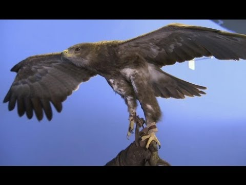 How does an eagle fly?  Deadly 60  Series 2  BBC