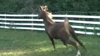 """Supreme"" 2004 SE Stallion (True Colours X Bahiyaa) Thumbnail"