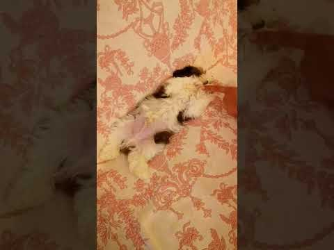 Shih Tzu Cucciolo Gauguin La Casa Dei Cuccioli Felici Youtube