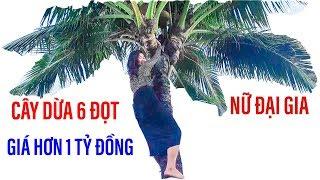 Nữ đại gia Sài Gòn leo lên cây dừa tiền tỷ, cây dừa 6 đọt II ĐỘC LẠ BÌNH DƯƠNG