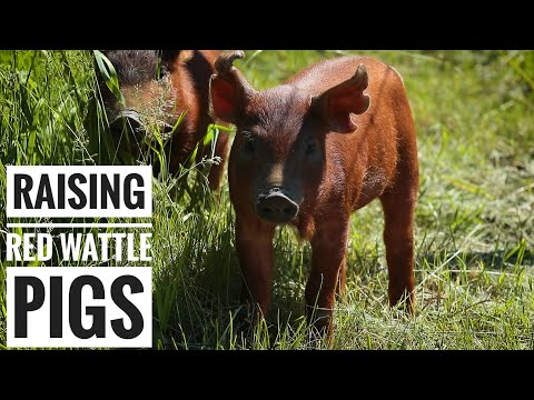 FARM TO TABLE   First Time Raising Pigs