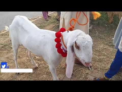 QURBANI EID 2018 k Liyey Beautiful Gulabi Bakra for sale in Lahore Bakra Mandi