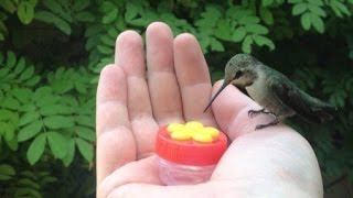 HUMMINGBIRD HAND FEEDING