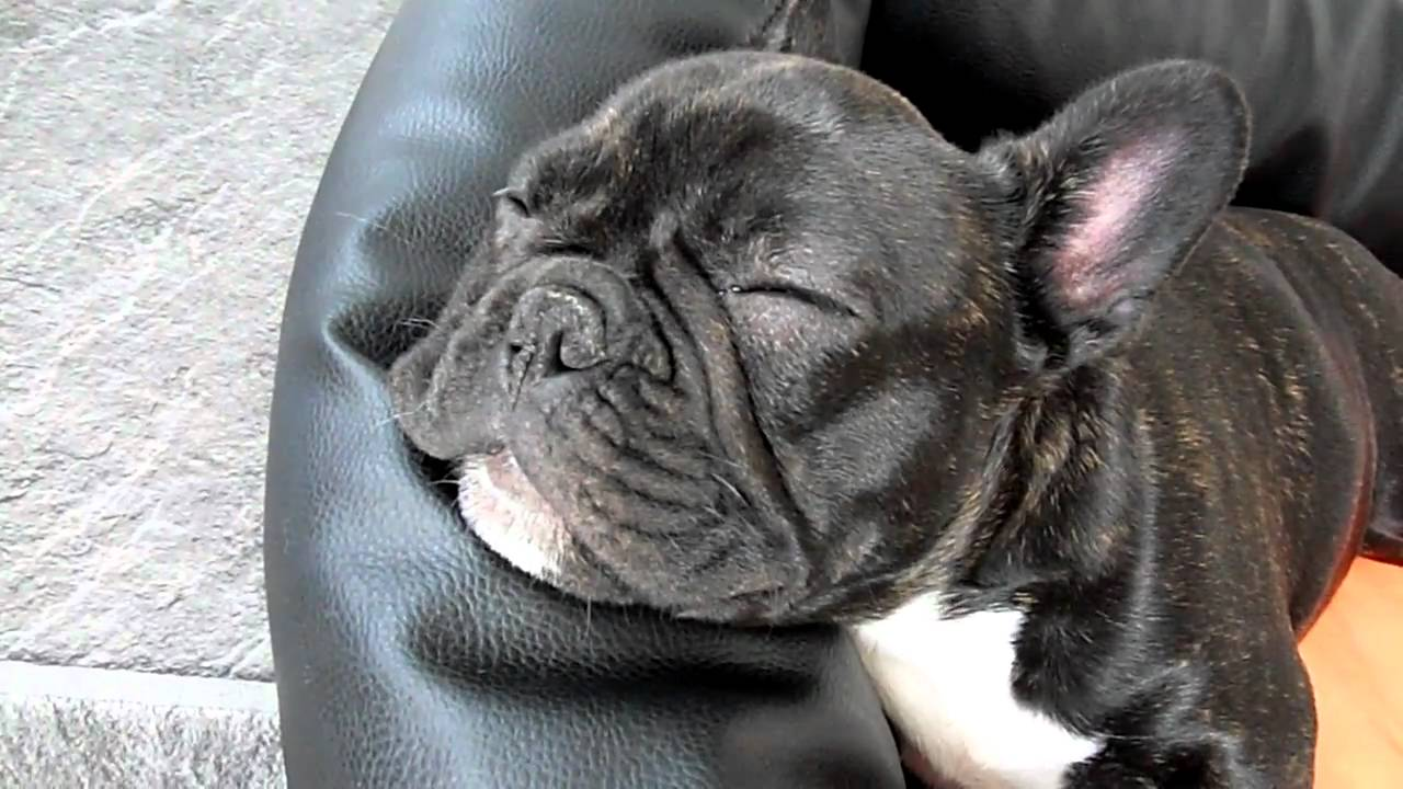 franz sische bulldogge tyson schnarcht french bulldog snoring youtube. Black Bedroom Furniture Sets. Home Design Ideas