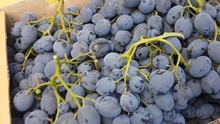 Виноград и яблоки против атеросклероза