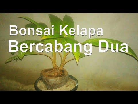 Bonsai Kelapa Cara Membuat Kelapa Bercabang Part1 Youtube