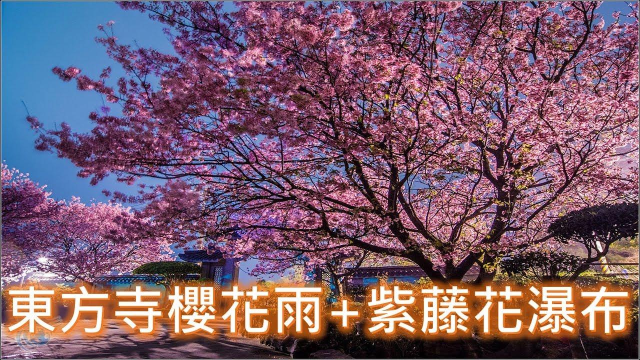 【梁丸】20180324「東方寺」櫻花雨+紫藤花瀑布 - YouTube