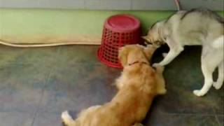 Golden Retriever And Siberian Husky Playing Gone Wrong