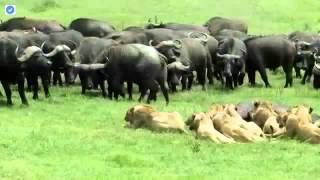 ライオンは属パンテーラと家族のネコ科のメンバー中4大型ネコ科動物の一...