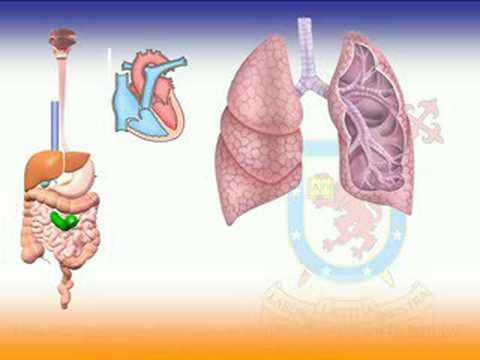 ascaris lumbricoides pulmon