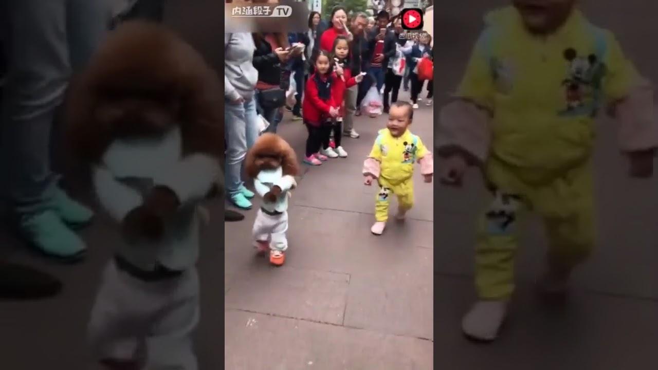หมา พุดเดิ้ล เดินสองขาได้