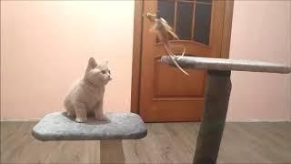 Британские котята из питомника, лиловый окрас. Мальчики