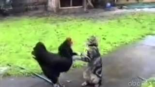"cat vs chicken funny cat moments ""must see"""