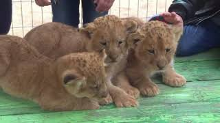Gaza zookeeper puts lion cubs up for sale