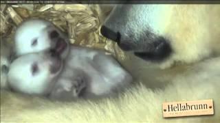 Twin Polar Bear Cubs are Adorable