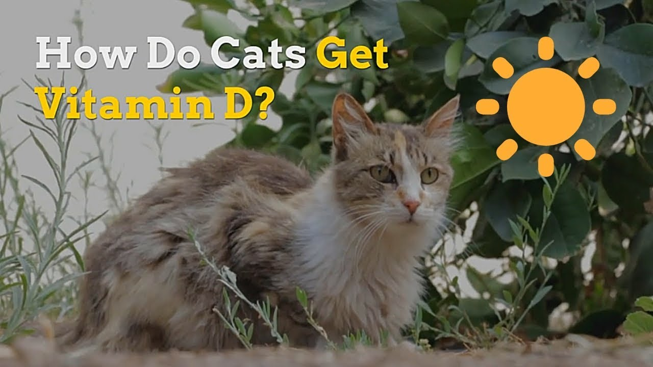 How Do Cats Get Vitamin D   What Foods Have This Vitamin