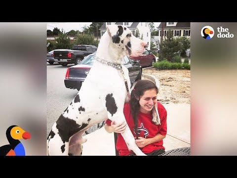 download Great Dane Dog Pouts Until Mom Gives Him A Morning Hug - KERNEL | The Dodo