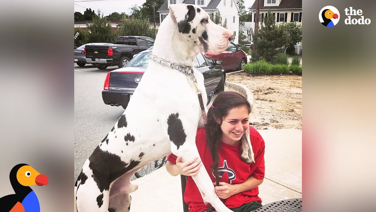 Great Dane Dog Pouts Until Mom Gives Him A Morning Hug