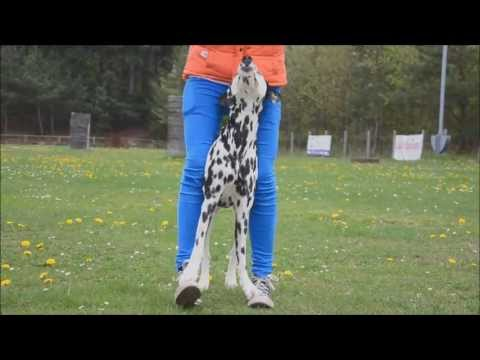 Dog Tricks by Dalmatian Yuma