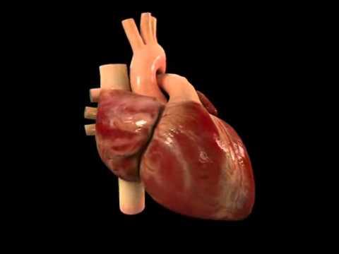 mô hình hoạt động của tim người - human heart