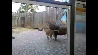 Ростовский зоопарк лев добился львицы