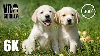 Baixar Labrador Retriever Puppies Playing With Each Other (6K 360 VR Video)