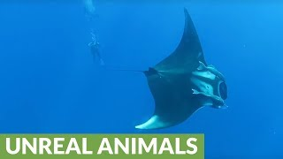 Giant manta rays fly amongst divers like jet fighters