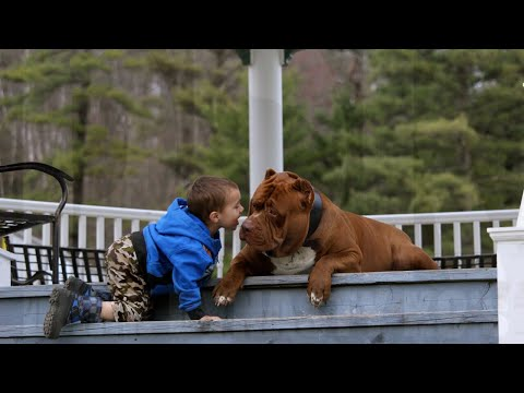 EXTREMELY controlled pit bull impressive training drill with kids