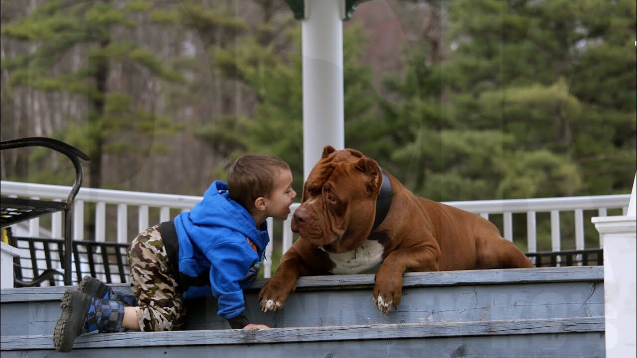extremely-controlled-pit-bull-impressive-training-drill-with-kids