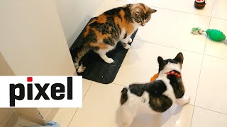 French Bulldog Puppy Desperately Tries to Play with Cat